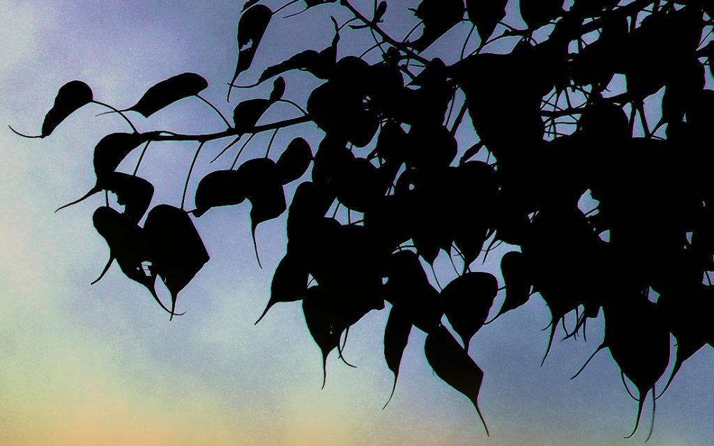 夜明けの印度菩提樹